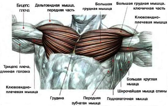 Anatomija-grudnyh-myshc
