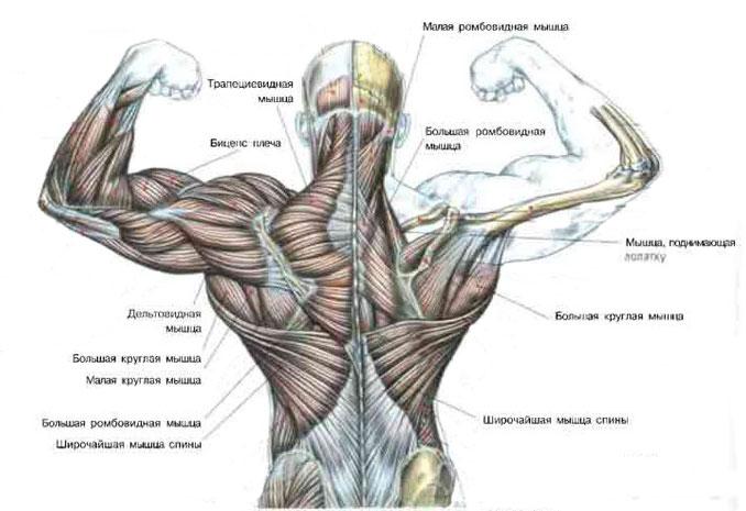 anatomia-mishc-spini